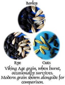 Archaeological examples of grain from the Viking Age.