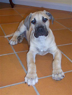 african boerboel's tend to weigh over 100lbs by the time they reach 10 months...yep