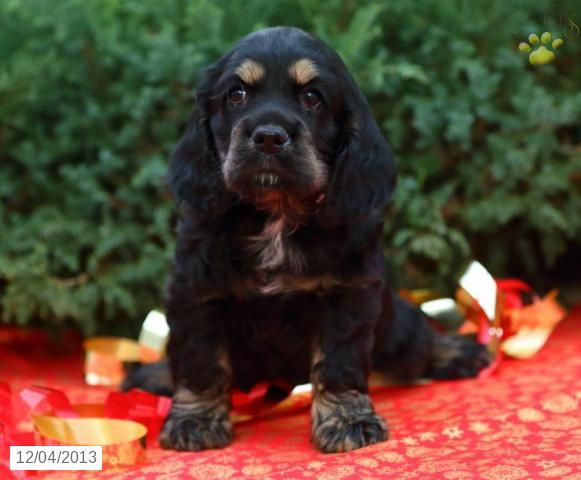 Cocker Spaniel Puppy for Sale in Lancaster, PA. Lancaster
