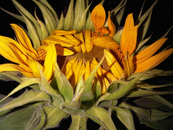 Sunflower Photo by Paula Gallagher
