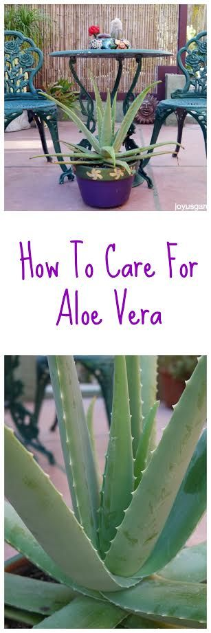 Aloe Vera is a great plant to have in the garden or in the kitchen. Here's how to grow it indoors & out - a video guides you.