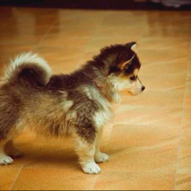 Husky/Polmeranian-Omgsh I think I'm in love!!!