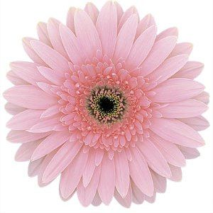 58 best light pink flowers images on pinterest wedding bouquets fiftyflowers misty pink super gerber daisy flower mightylinksfo Gallery