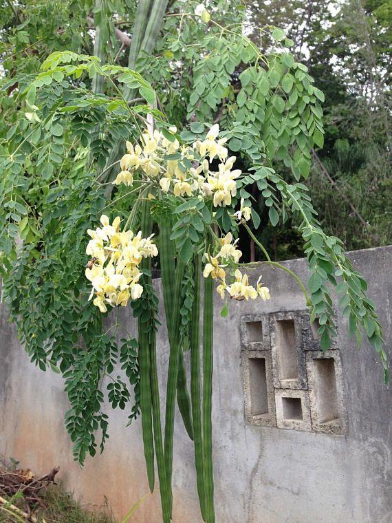 Moringa Oleifera Miracle Tree 8 Seeds With Images Moringa Tree Moringa Oleifera Moringa Benefits
