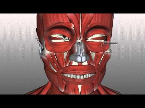 Anatomy Of The Head & Neck - Muscles Of Facial Expression 01 | 3D anatomy tutorial on the muscles of facial expression, using the BioDigital Human anatomy browser (http://www.biodigitalhuman.com). This video is in two parts. If you just want to get a quick overview of the main muscles, just watch this first part, but if you want to learn about them in more detail, make sure to watch both parts!