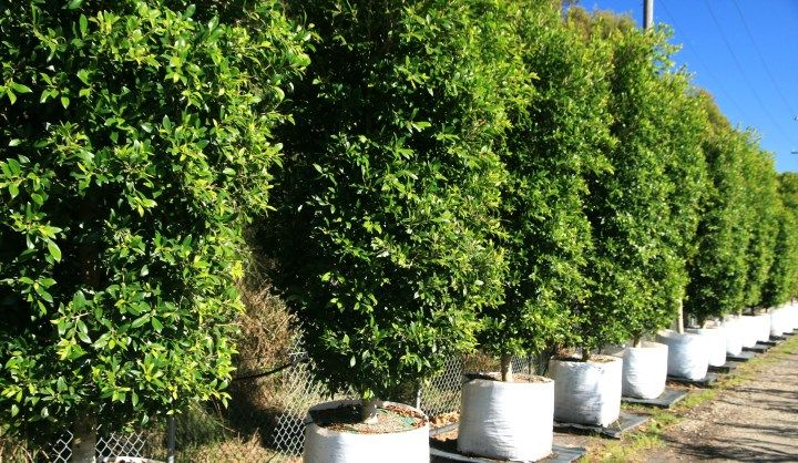 Ficus Microcarpa Hillii Alternative Species Screening Shrubs To Eastern Boundary Tad Court