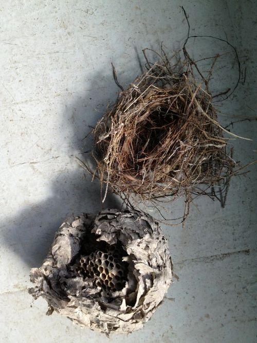 Blue Jay Destroys a Wasp Nest - YouTube