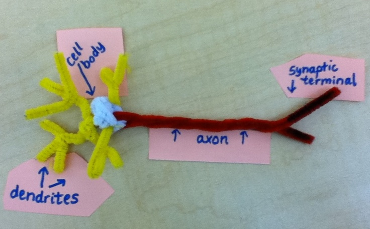 Neuron Model using pipe cleaners