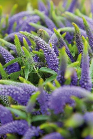 Blauwe bloemen zijn er niet zoveel, maar onder zomerbloemen komt de kleur blauw relatief veel voor. Veronica is een van de blauwste!