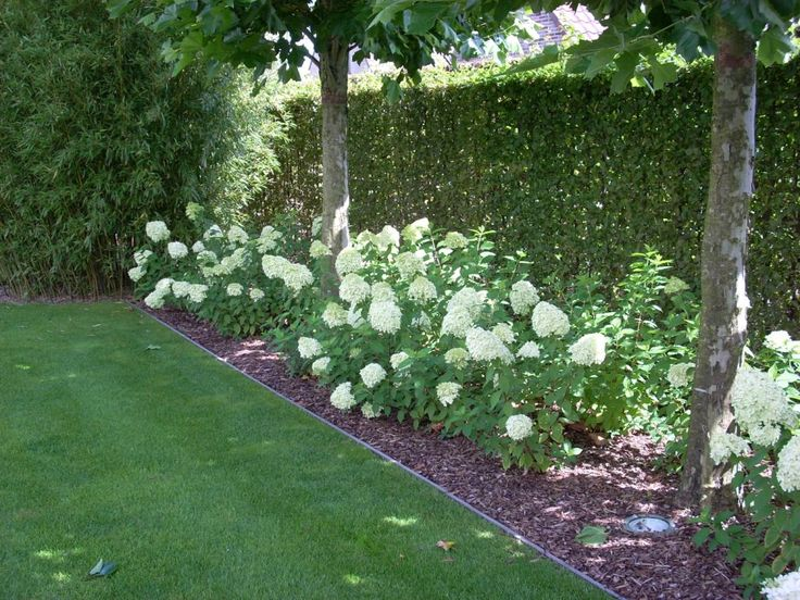 limelight hydrangea as a border showtuin tuin sfeer. Black Bedroom Furniture Sets. Home Design Ideas