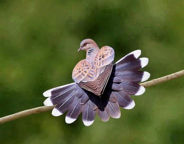 galamb legyező farokkal, a szárnyai szívet formáznak. csodálatos