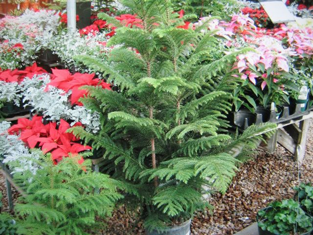How to Grow and Care for Norfolk Island Pines    http://www.thegardenhelper.com/norfolk.html