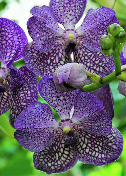 Blue Vanda Orchids by Cathie Moog