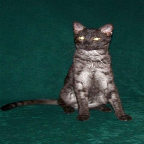 egypitain mau cats | Egyptian Mau Cats for Sale