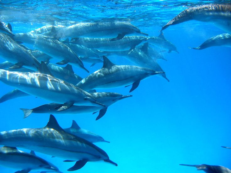 57 best dolphin images on pinterest dolphins marine for Helen h deep sea fishing