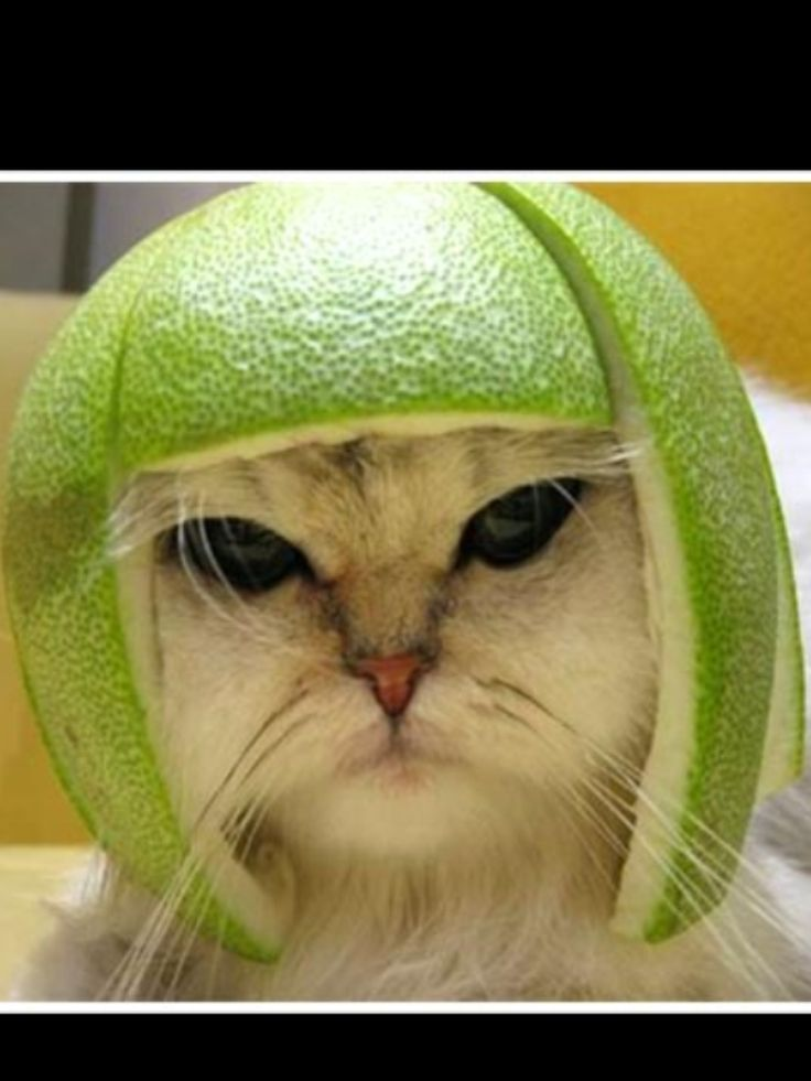 cat with lime helmet | Share