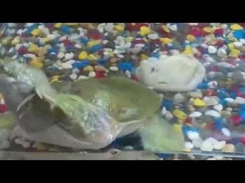 Смешная Китайская трёхкилевая черепаха. Трионикс
