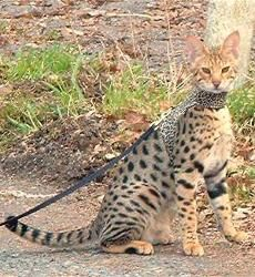 Savannah Katzen in der Kiwanga Cattery