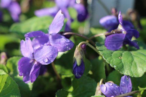 Duft Veilchen 'Königin Charlotte' - Viola odorata. Lichter Schatten, feuchter Boden - perfekt für unseren Vorgarten :-)