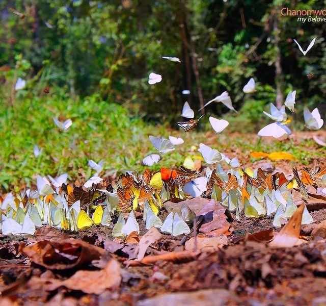 Butterfly season in Kaeng Krachan National Park, Phetchaburi. ลานผีเสื้อ, อุทยานแห่งชาติแก่งกระจาน จ.เพชรบุรี