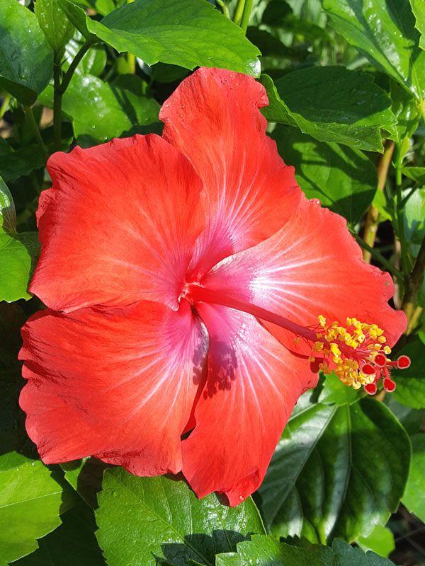 Hibiscus President Red Bush H Rosa Sinensis Hibiscus Plant Hibiscus Growing Hibiscus