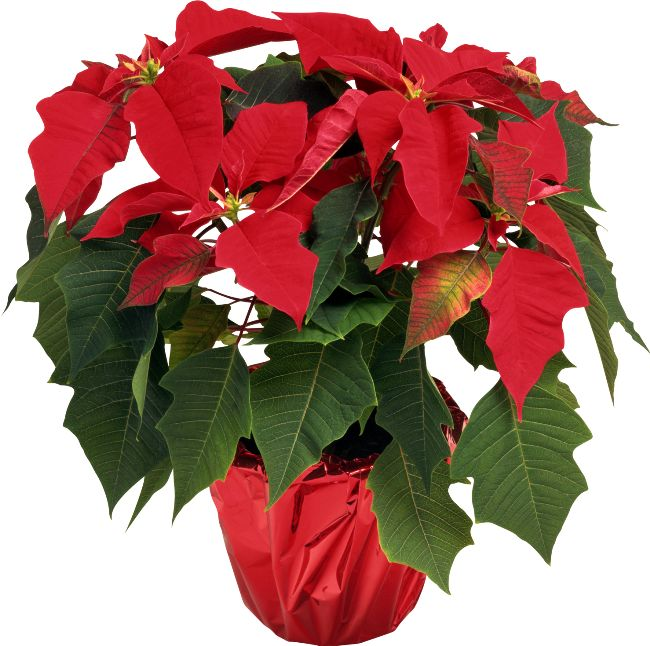 ForgetMeNot: Christmas flowers-poinsettia
