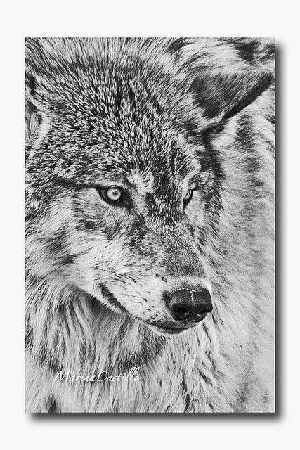 Wolf   da Marina Castillo