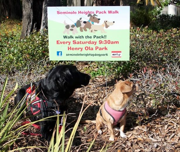 Have you ever walked a #Labrador and a Corgi-Chihuahua mix. Roscoe and Jackie are a handful!