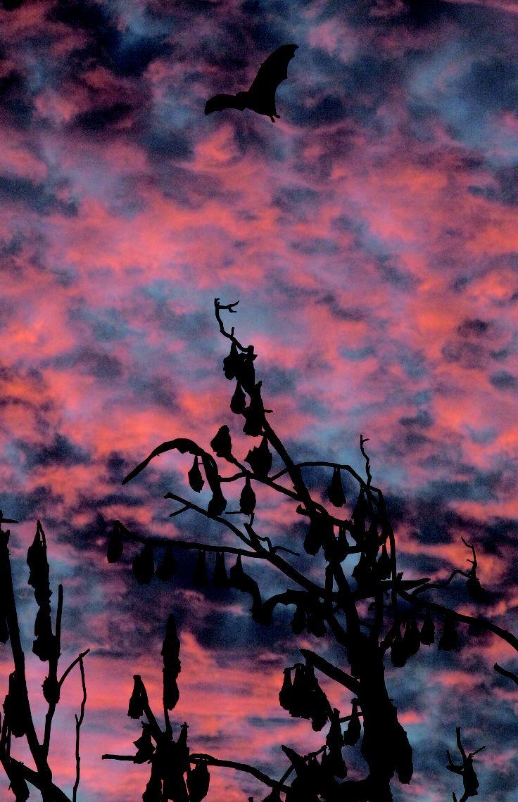FLYING-FOXES Australian Night Foresters book. http://www.rosenbergpub.com.au/handleProduct.asp?id=168&catid=7