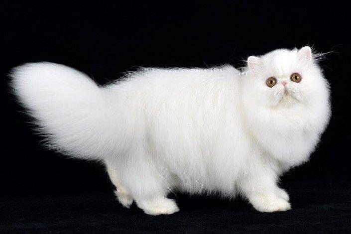Scopri tutte le informazioni sul gatto Persiano, il suo carattere, il prezzo, le cure necessarie. Meglio normotipo o pertipico? Scopri tutte le caratteristiche della razza felina gatto Persiano e guarda le foto ed il video.