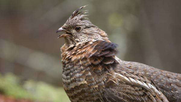 #Wisconsin offers great ruffed grouse hunting: check out one of these three counties!