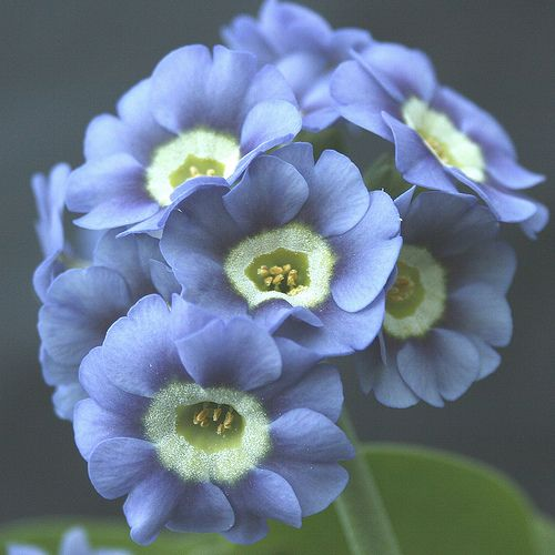 Auricula Bradmore Bluebell   Auriculas are one of my favouri…   Flickr - Photo Sharing!