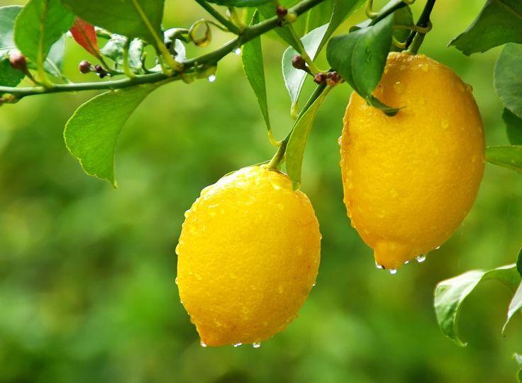 1000 id es sur le th me planter des graines de citron sur for Comment entretenir un citronnier