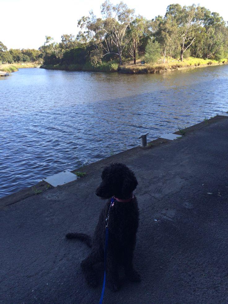 Nice walk with my dog #yarrariver. #richmondwalks #peace