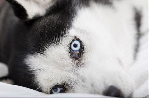 disappointed husky - photo #32