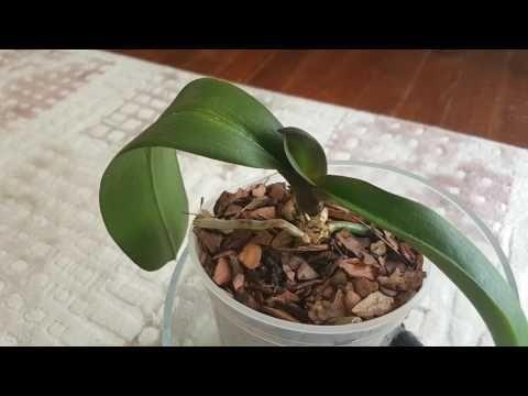 Orkide Kurtarma 3 videosundaki orkidenin durumu