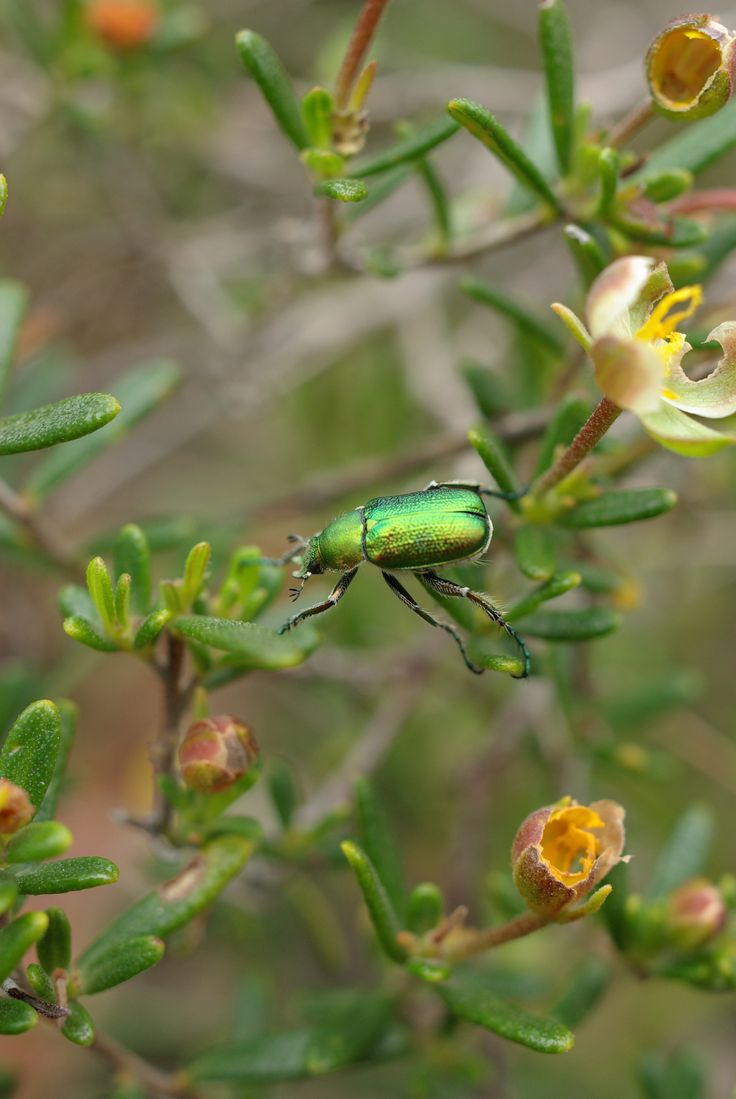 WILDFLOWER & GREEN SHINY INSECT - Koondoola Regional Bushland_Western Australian Wildflower series - PHOTOS BY RODNEY CHEUK- 2007.