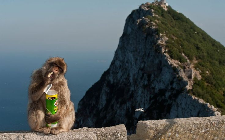 A Barbary macaque munches on a crisp from a tube of Pringles it stole from a tourist in Gibraltar.