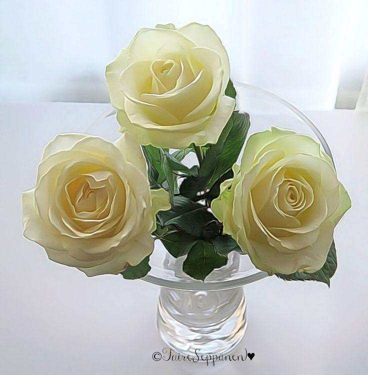 Valkoiset ruusut, white roses