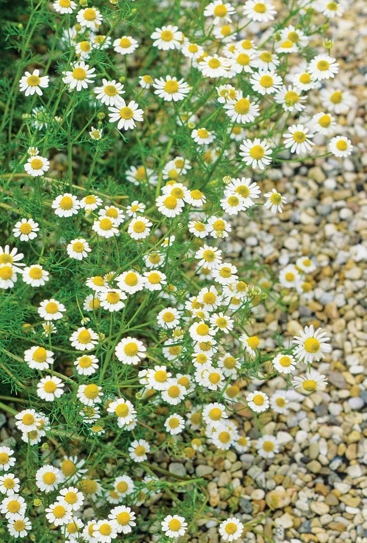 Roman chamomile makes a wonderful lawn substitute.