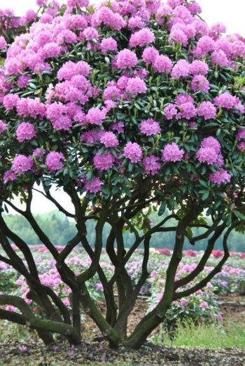 pink rhododendron into an ornamental tree