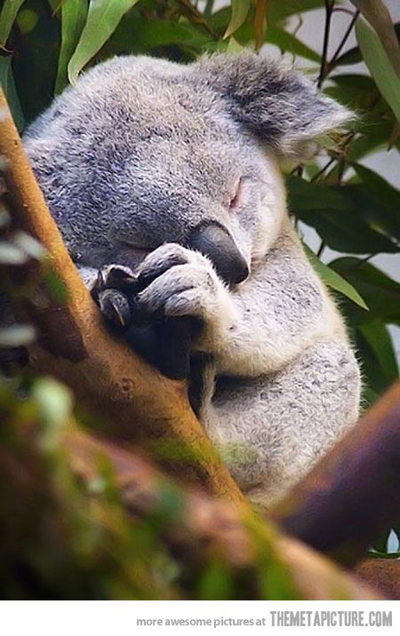 It's adorable until you know baby koalas eat their mum's poop because at that age they can't digest eucalyptus leaves.