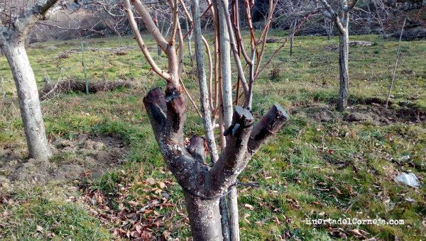 estado en invierno de cerezo y puas injertadas