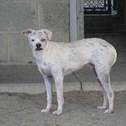 Ocala, FL - Pug  Meet Bowie a Pet for Adoption  | CALL LOUD