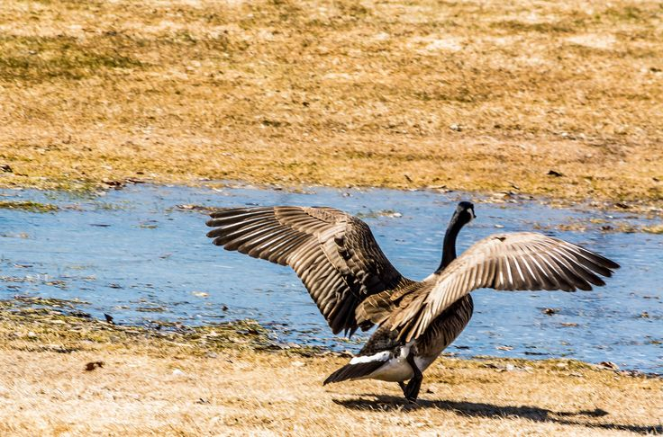 Welcome Home Canada Geese by James Mann on 500px