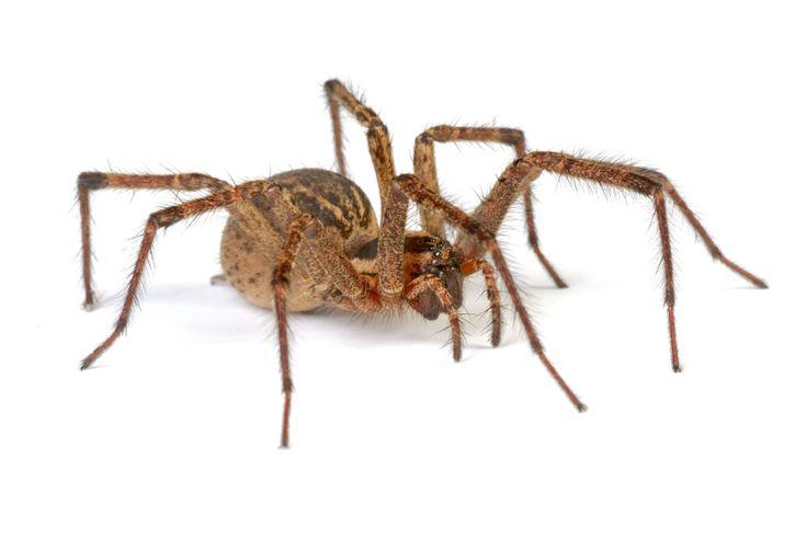 Spinnen bestrijden 't Gooi