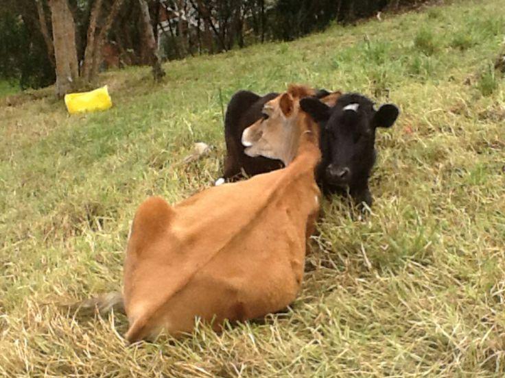 My little neighbor's cows.
