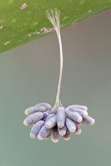 Lacewing eggs, on a hardened silk string secreted from the mother to protect the eggs from ants that would eat them.