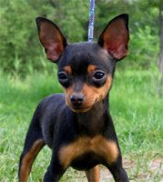 Shorthaired Russian Toy Terrier Russian dog breeds, Dog