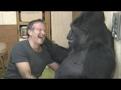 Koko the Gorilla Mourns Her Friend, Robin Williams - YouTube
